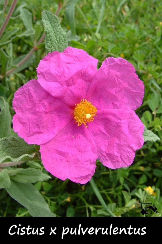 ciste à fleurs rose très foncé