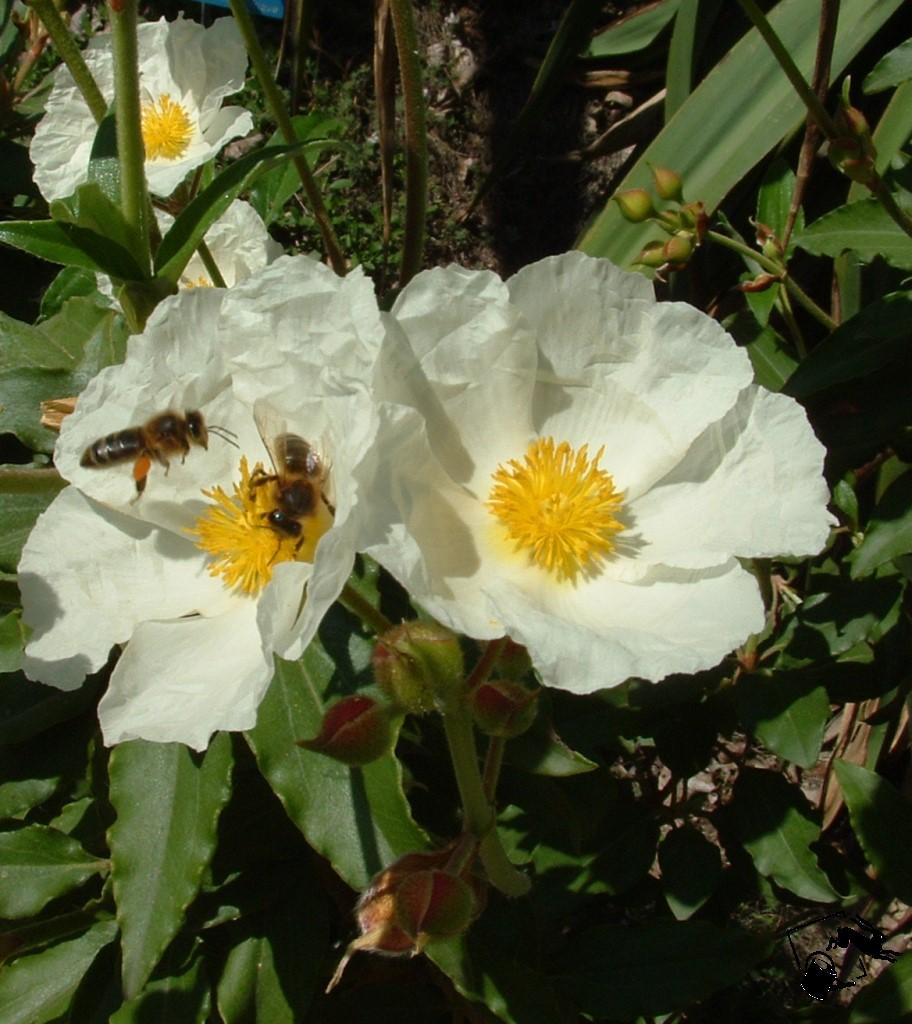 ciste à fleurs blanches compact et très florifère