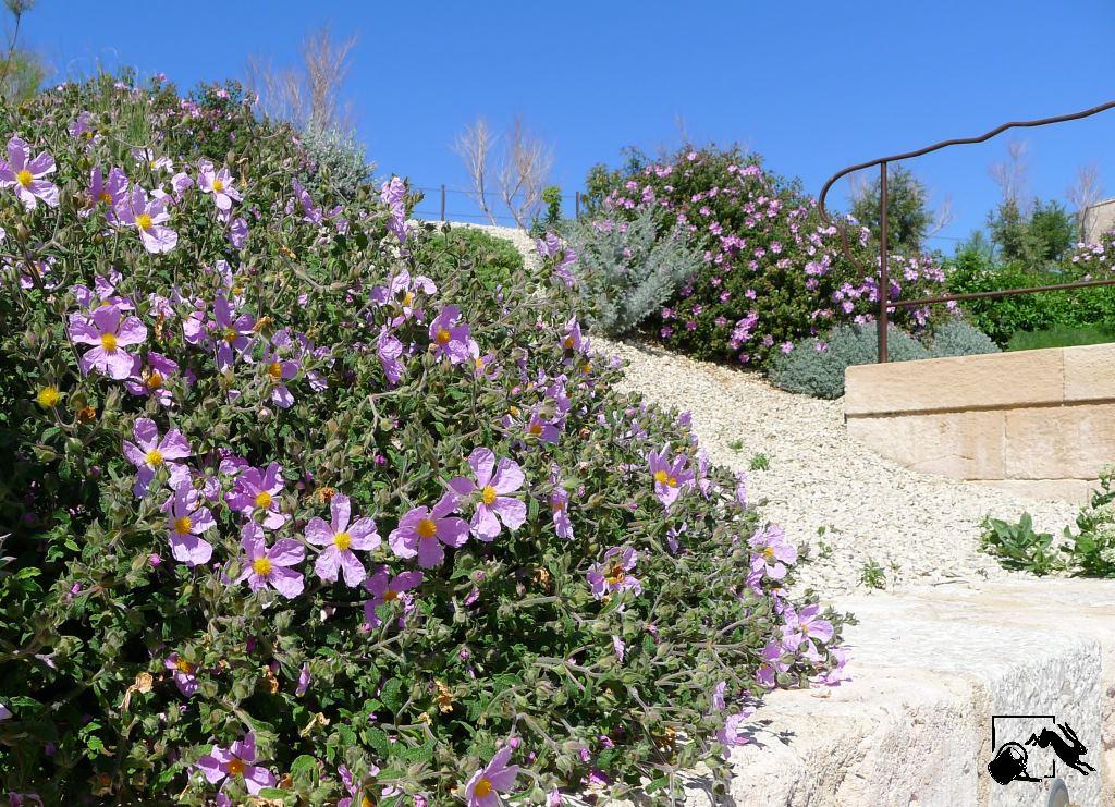 cistes, cistus creticus au jardin des migrations, musem, marseille