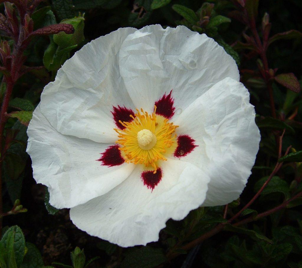 ciste à fleurs blanches macules pourpres