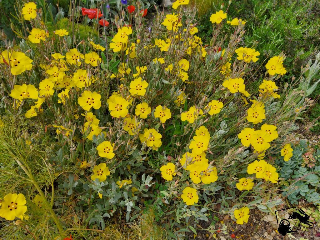 ciste à fleurs jaunes macules