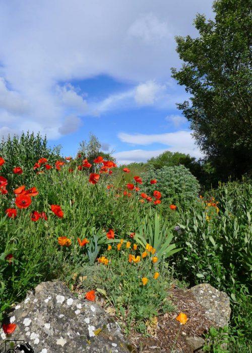 jardin-naturel-de-la-libre-coquelicot-eschscholzia