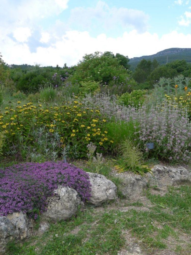 massif-phlomis-fleurs-r
